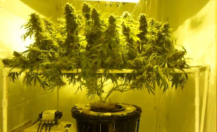 How to grow hydroponic marijuana using ebb and flow for Cannaweed recolte