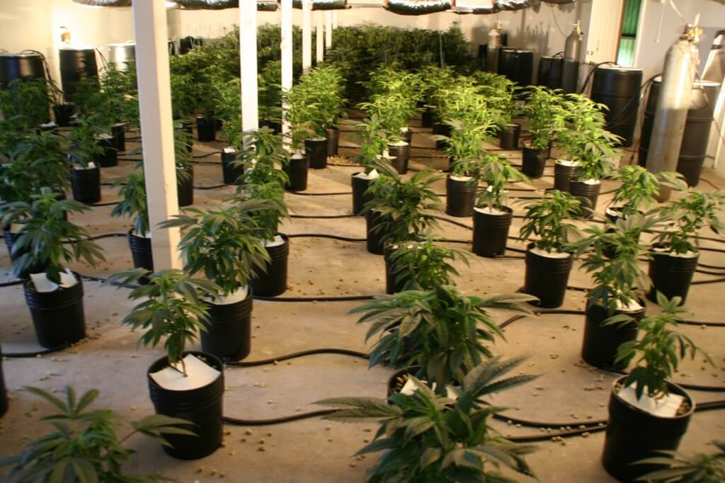 5 hydroponic techniques used in growing marijuana